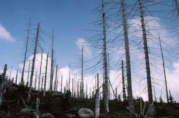 Mưa axit tàn phá cả cánh rừng