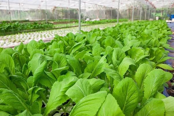Bón phân ure để kích thích sự phát triển của cây trồng