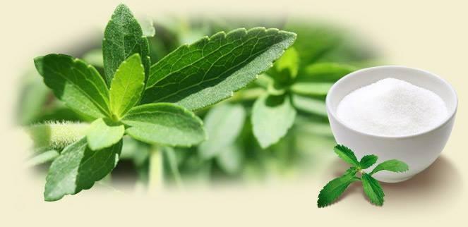 Cây cỏ ngọt Stevia