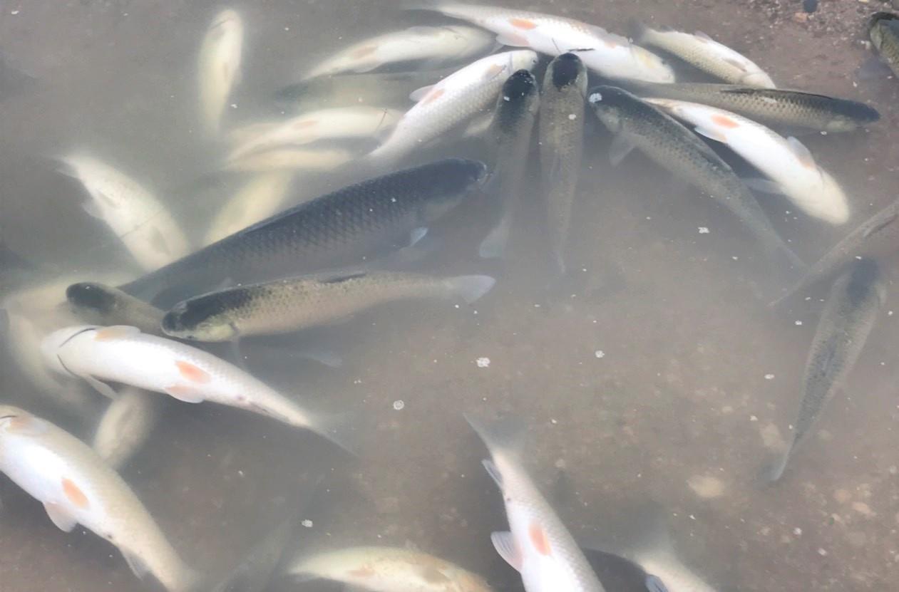 Cá chết do lượng TSS cao