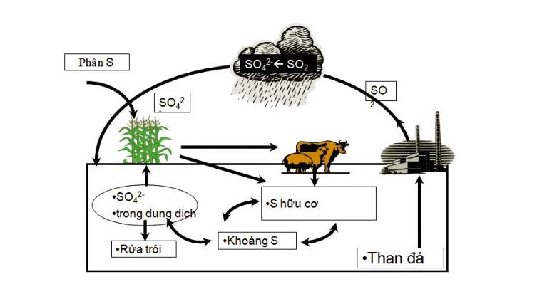 Thực vật hấp thụ lưu huỳnh trong đất dưới dạng các ion sunfat