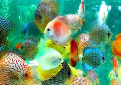 Discus cá đĩa 1 trong 10 loài cá cảnh đẹp nhất thế giới