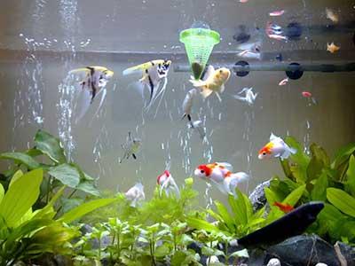 Hướng dẫn nuôi cá cảnh cho người mới chơi
