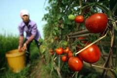Địa chỉ mua cà chua sạch 2000đ/1kg giúp đỡ bà con Bắc Giang tại Hà Nội