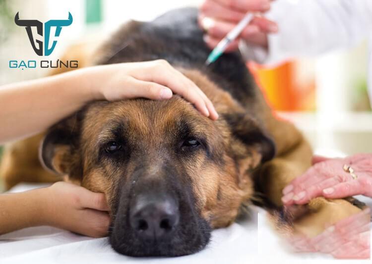 Cách chữa bệnh Care ở chó
