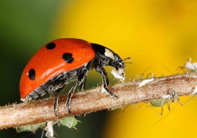 Bọ cánh cam ăn rệp và các loại côn trùng nhỏ