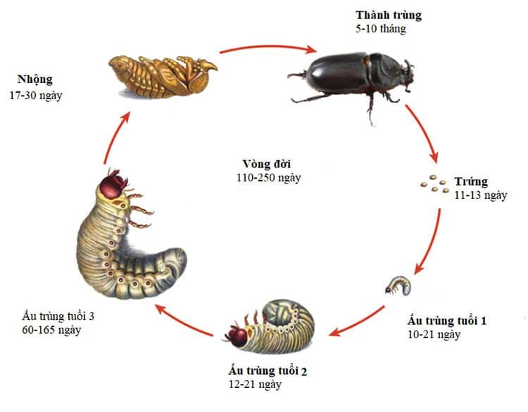 Hình ảnh một vòng đời của bọ cánh cứng
