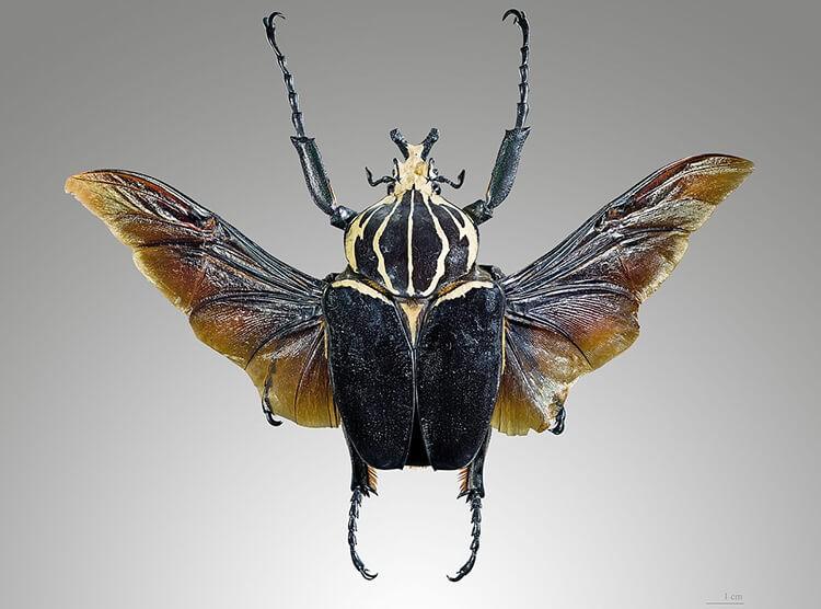 BọGoliathus giganteus