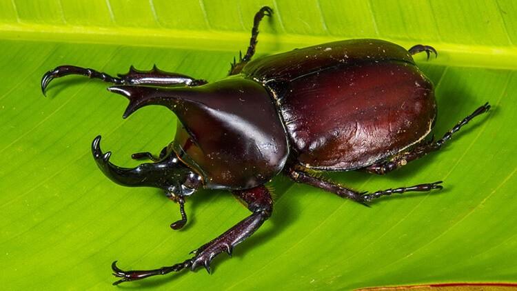 Hình ảnh bọ hung