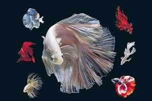 Cá lia thia (cá Betta) ăn gì để lên màu đẹp?