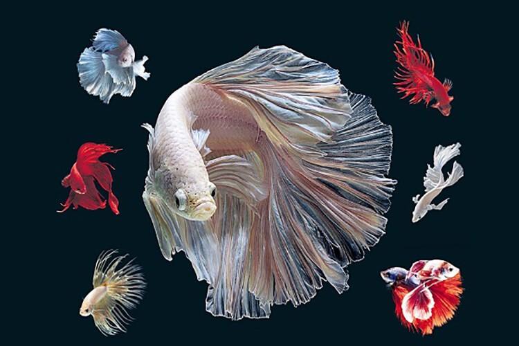 Tổng quan về cá lia thia ăn gì?