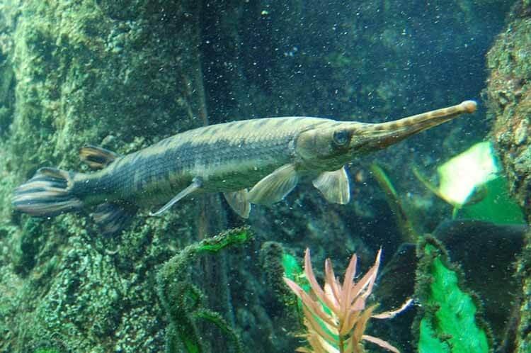 Cá sấu mỏ vịt có ngoại hình khác biệt