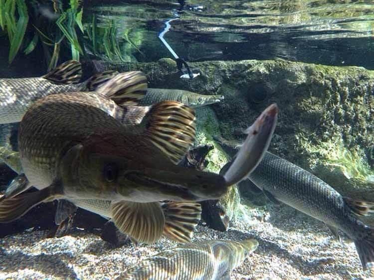 Hình ảnh hồ nuôi cá sấu cảnh