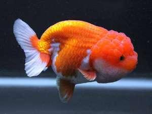 Cá vàng Ranchu giá bao nhiêu? Mua cá Ranchu mini ở đâu?