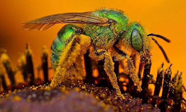 Ong mồ hôi thuộc top các loài ong độc