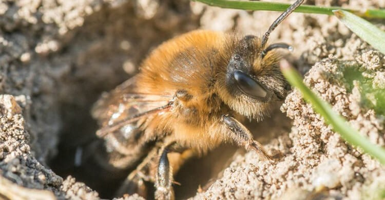 Ong đất là loài ong độc