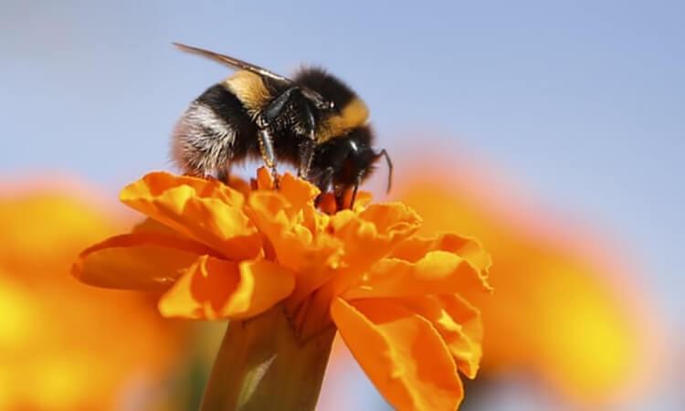 Loài ong mật ở Việt Nam