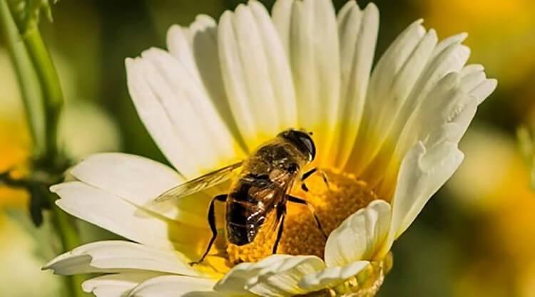 Ong ruồi kích thước nhỏ nhắn