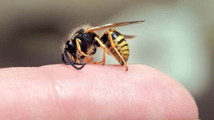 Cách chữa ong đốt tại nhà