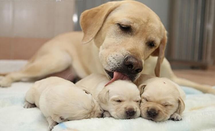 Chăm sóc chó sau đẻ