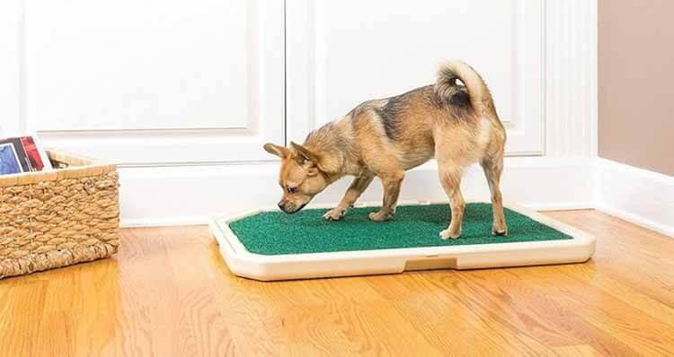 Dạy chó đi vệ sinh đúng cách
