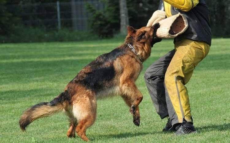 Dạy chó tấn công và bảo vệ chủ