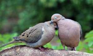 Cách nuôi chim cu gáy non, chim cu sinh sản