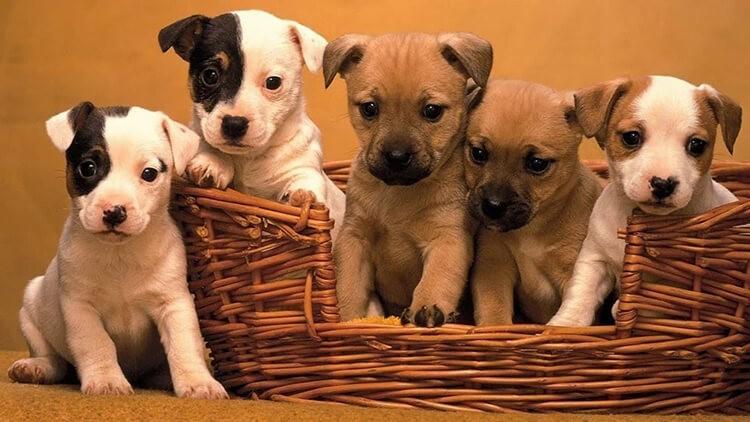 Cách nhận biết chó khôn giữ nhà