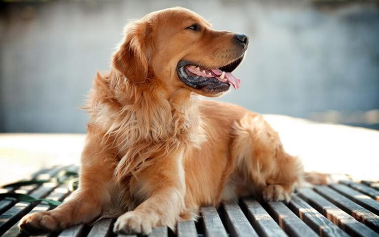 Giống chó hoàng cẩu toàn thân màu vàng