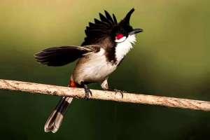 Chim chào mào ăn gì sung nhất? Cách nuôi chào mào căng lửa