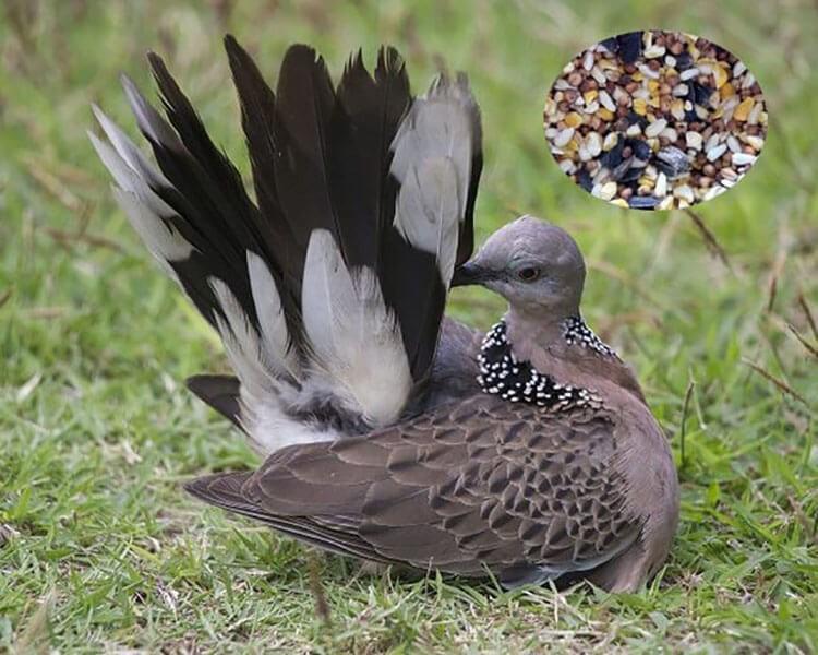 Thức ăn tổng hợp cho chim cu gáy