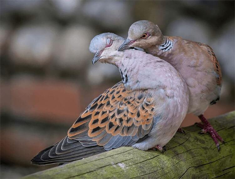 Chim cu gáy sinh sản ăn gì