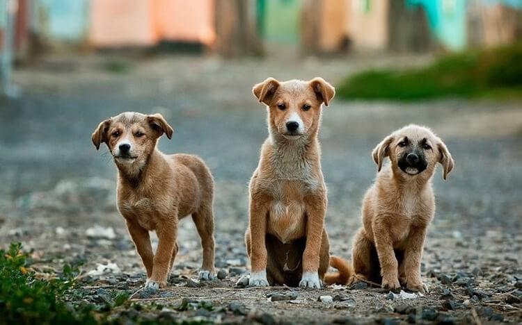 Chó Việt Nam có thân hình săn chắc