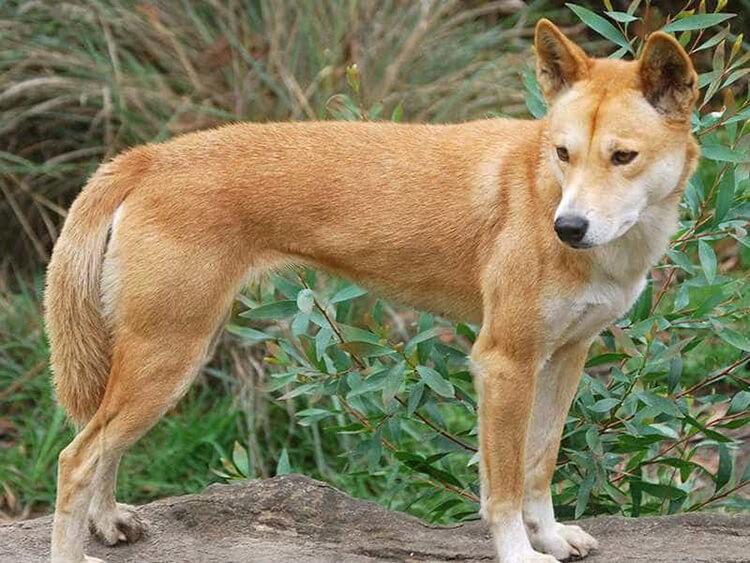 Chó Lài Việt Nam