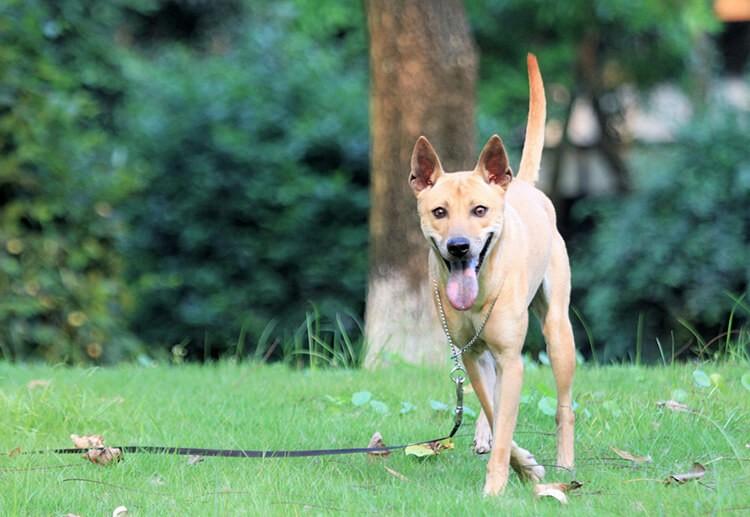 Chó Phú Quốc Việt Nam