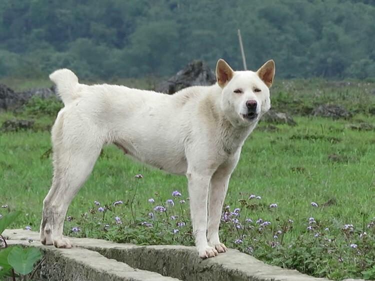 ChóH'Mông cộc đuôi