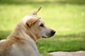 Các giống chó cỏ Việt Nam (chó ta) dễ nuôi, nhanh lớn