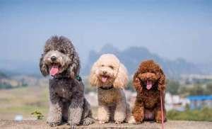 Chó săn vịt (chó Poodle) giá bao nhiêu thì mua được?