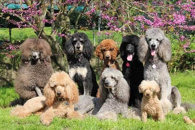 Đặc điểm của chó Poodle