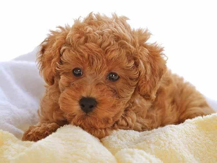 Chó Poodle giá bao nhiêu?
