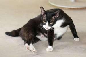 Dấu hiệu mèo sắp đẻ và lưu ý khi mèo đẻ sót con, lưu thai