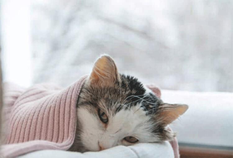 Mèo con bị tiêu chảy người mệt mỏi