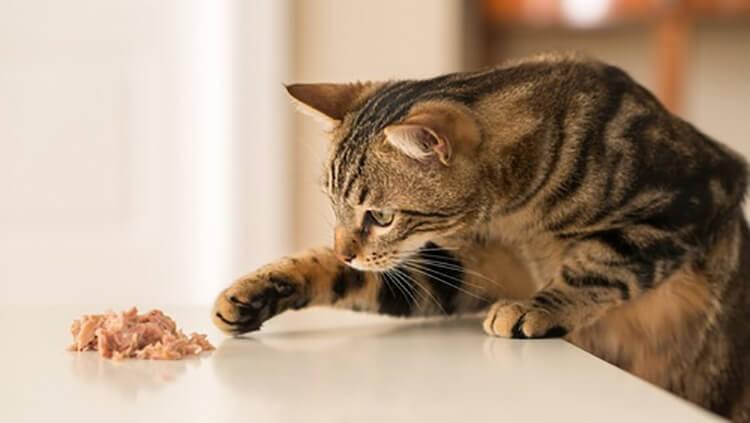 Mèo ăn phải thức ăn sống