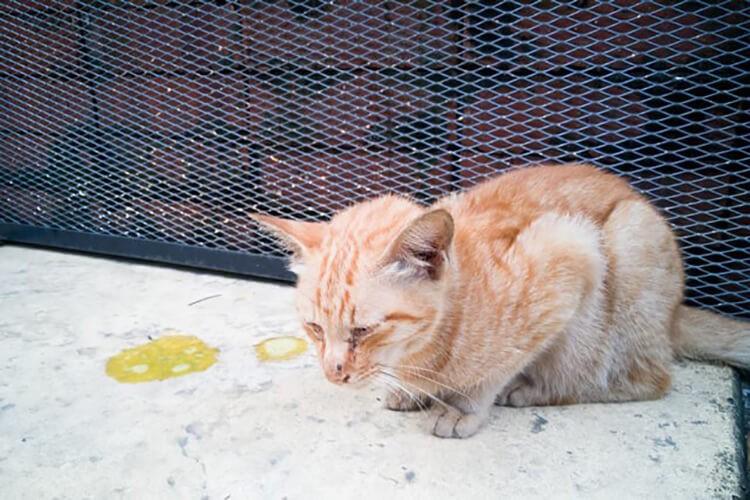 Mèo tiêu chảy kèm nôn mửa
