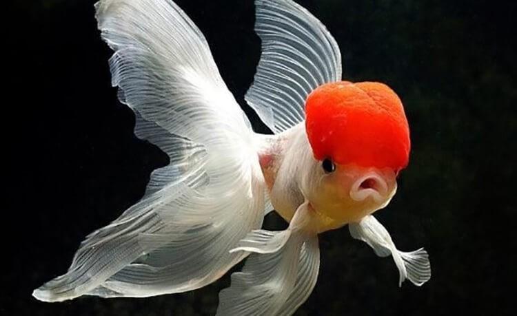 Cá ba đuôi cực đẹp