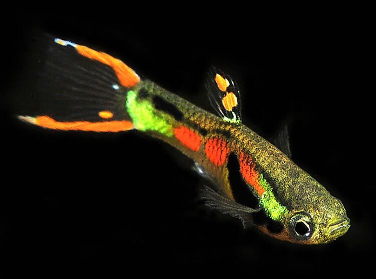 Cá bảy màu cảnh