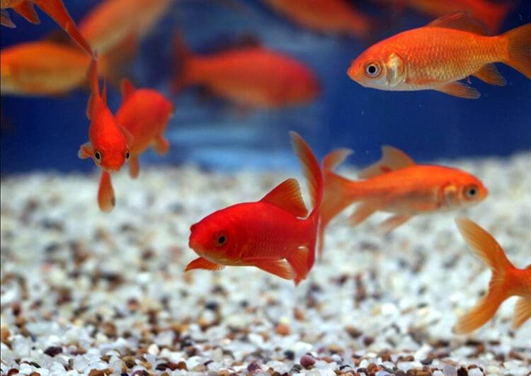 Các loại cá cảnh nuôi chung với nhau
