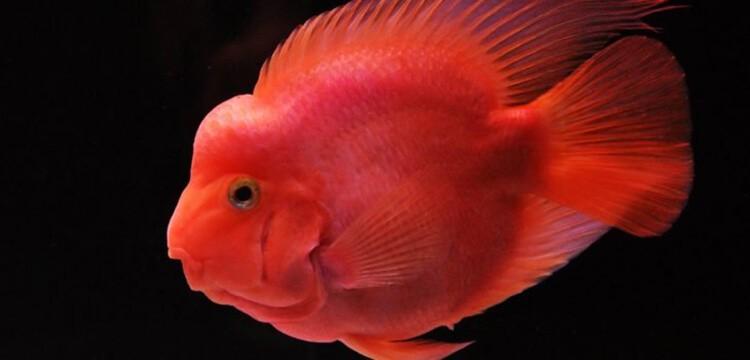 Cá Hồng Két cảnh