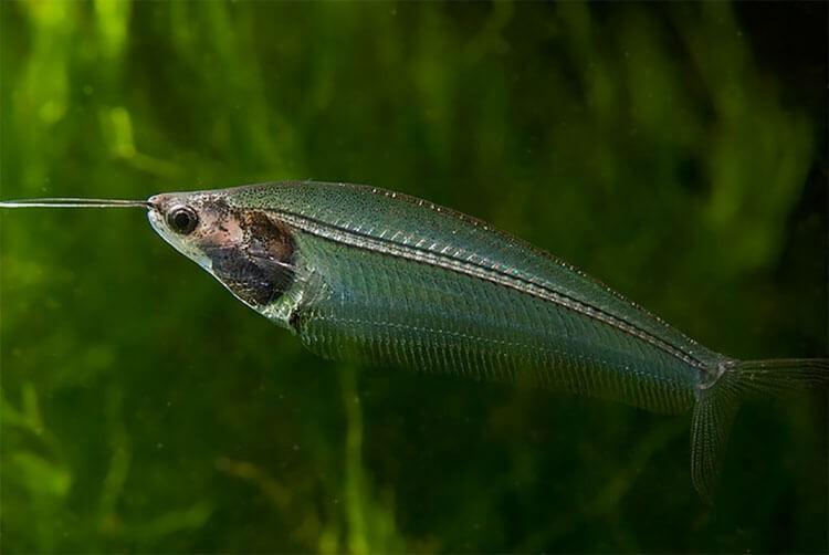 Cá thủy tinh cảnh