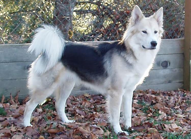 Chó Becgie lai Husky